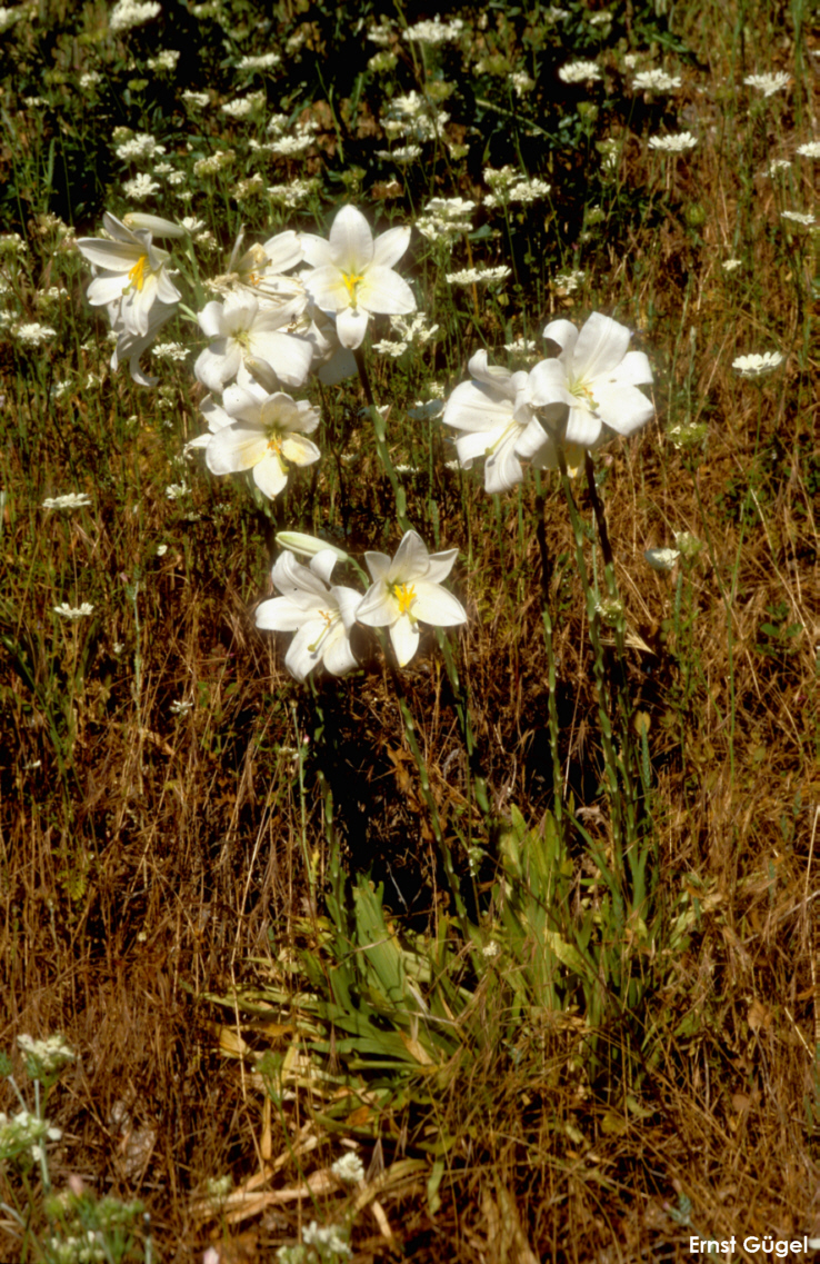 фото полевая лилия